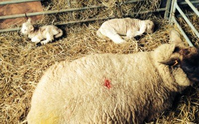 lambing live lake district cumbria