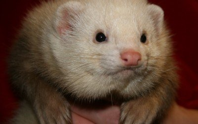 ferrets animal barn
